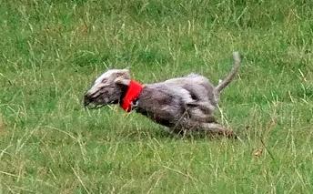 Bedlington Terrier Crufts 2013 Bedlington Terr...