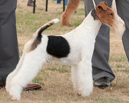 GROUP 1	& RBIS CH TRAVELLA LAKETRIX SET TO STRIKE Breed: Fox Terrier (Wire)