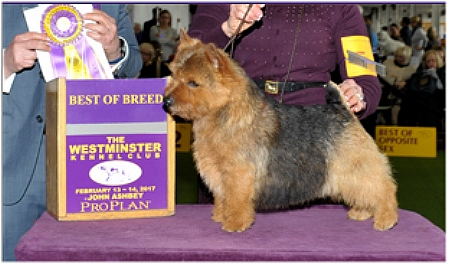 Norwich Terrier Dog GCHS CH Taliesin Twice As Nice